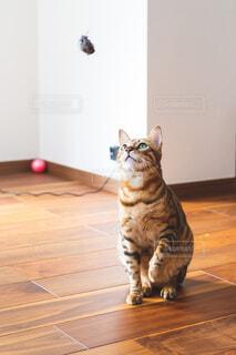 おもちゃを見つめる猫の写真・画像素材[3978890]