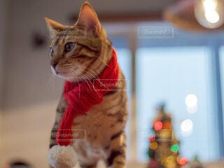 マフラーをした猫の写真・画像素材[3988337]
