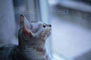 外を見つめる猫の写真・画像素材[4013542]