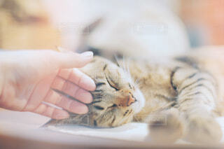 寝ている猫を触っている手の写真・画像素材[4021411]