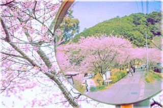 河津桜の写真・画像素材[4165435]