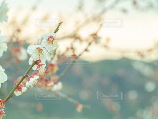 梅の花のクローズアップの写真・画像素材[4167261]