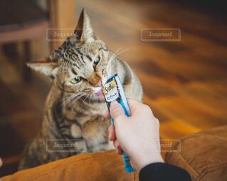 おやつを食べる猫の写真・画像素材[4238218]