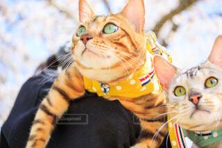 抱っこされている猫の写真・画像素材[4297526]