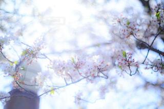 見上げた桜の花の写真・画像素材[4303801]
