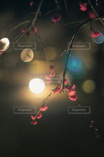 夜の梅の花の写真・画像素材[4354249]