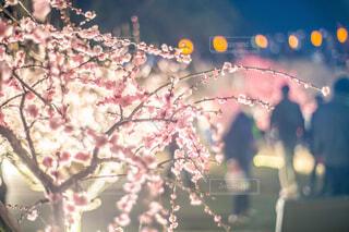 夜の梅の花の写真・画像素材[4355263]
