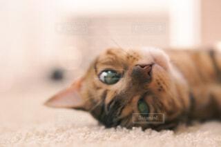 ラグに横たわる猫のクローズアップの写真・画像素材[4610144]