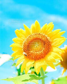 空,花,夏,ひまわり,青,黄色,向日葵,ひまわり畑,草木