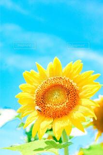 空と向日葵 ときどき蜜蜂の写真・画像素材[4663467]