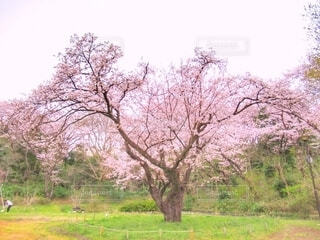 桜の写真・画像素材[4000520]