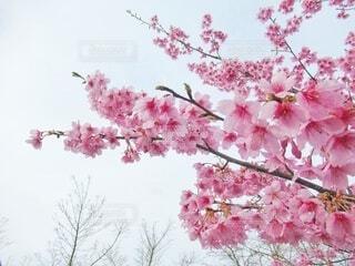空へ伸びる桜の写真・画像素材[4241684]