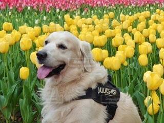 チューリップと犬の写真・画像素材[4307180]