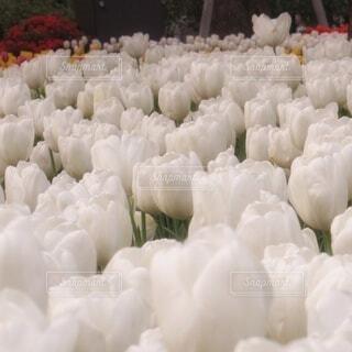 ホワイトなチューリップの写真・画像素材[4312602]