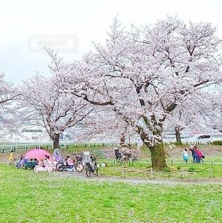 お花見ピクニックの写真・画像素材[4350204]