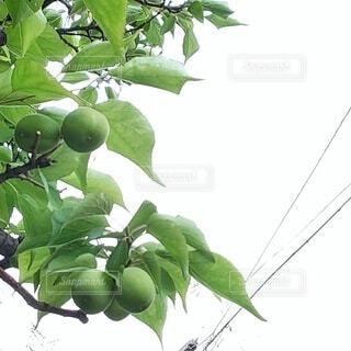 梅の実の写真・画像素材[4371999]