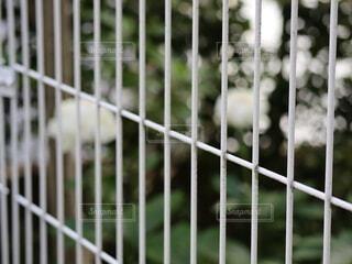 白いボタンの花の写真・画像素材[4385900]