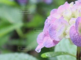 雨上がりの紫陽花の写真・画像素材[4521561]