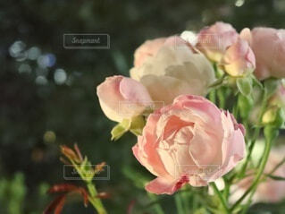 薔薇のクローズアップの写真・画像素材[4920495]