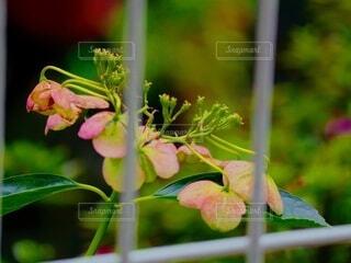 秋色の紫陽花の写真・画像素材[4945583]