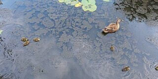 自然,屋外,親子,水面,池,反射,蓮,可愛い,たくさん,カモ,子ガモ