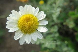 雨粒の花の写真・画像素材[3896572]