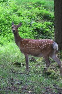 鹿の写真・画像素材[3896594]