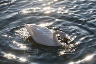 白鳥の写真・画像素材[3896716]