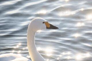 白鳥の写真・画像素材[3896718]