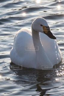白鳥の写真・画像素材[3896723]