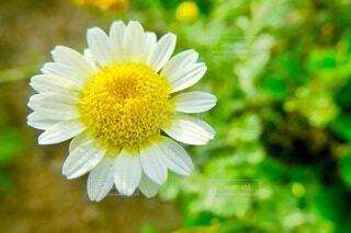 雨粒の花2の写真・画像素材[3897837]