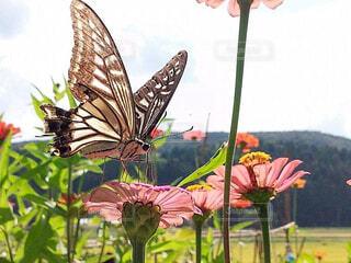 花の蜜を吸うアゲハチョウの写真・画像素材[3918382]