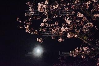 夜桜の写真・画像素材[3909615]