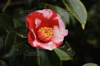 静かに咲く椿の写真・画像素材[3909666]