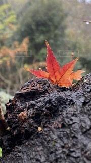 木の上に紅葉が挟まってる感じ❗️の写真・画像素材[3997011]