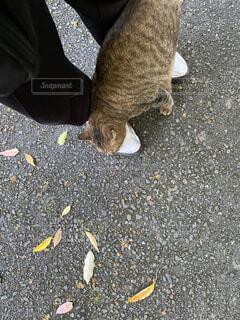 足元をすりすりするねこ。の写真・画像素材[4199852]