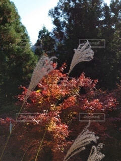 紅葉とススキのコラボレーションの写真・画像素材[3902761]