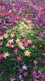 緑の上で魅せる落葉もみじの写真・画像素材[3903107]