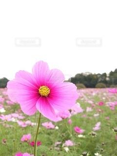 ひときわ輝く秋桜みいつけたの写真・画像素材[3903489]