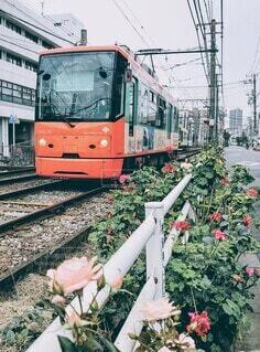 秋バラが咲き誇る線路を走る路面電車の写真・画像素材[3910331]