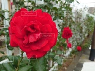 線路脇に咲く真っ赤な美しい薔薇の写真・画像素材[3910334]