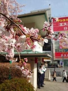 公園,建物,花,桜,ビル,ピンク,景色,上野,警察,草木,スポット,交番,桜の花,お巡りさん