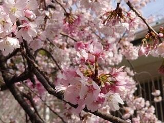 公園,花,春,ピンク,樹木,上野,草木,桜の花,人気,さくら,ブルーム,ブロッサム