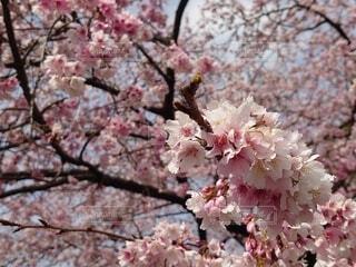 公園,花,春,ピンク,景色,樹木,上野,草木,スポット,桜の花,人気,さくら,ブロッサム