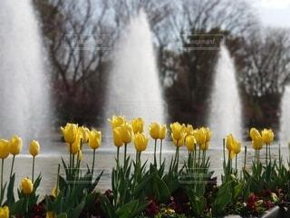 風景,公園,花,春,水,黄色,チューリップ,樹木,音,噴水,草木,スポット,迫力