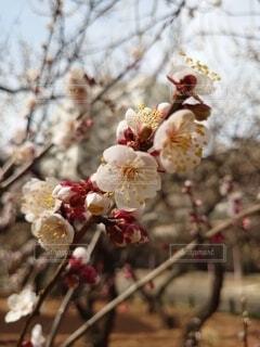 花,春,ピンク,神社,白,梅,神,草木,学問,神様,香り,祈願,湯島,香る