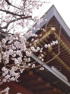 花,春,ピンク,神社,白,樹木,神,学問,神様,香り,祈願,湯島,香る