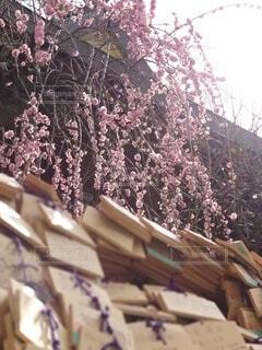 花,春,神社,梅,樹木,絵馬,祈り,梅林,お参り,神,合格,受験,神様,祈願,祈る,お礼