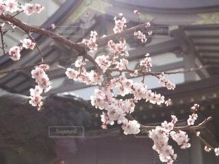 花,ピンク,神社,白,神,学問,神様,香り,祈願,湯島,香る