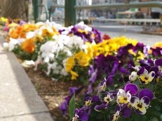 花,春,屋外,東京,白,カラフル,紫,道路,オレンジ,パンジー,都内,草木